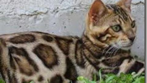Tritrichomonas foetus: diarrea nel gatto (II)