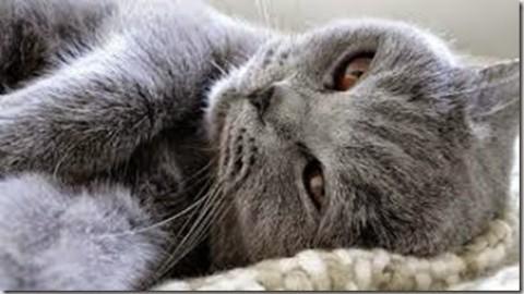 La valutazione del dolore nel gatto