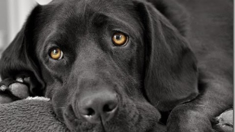 La sindrome dilatazione-torsione gastrica nel cane