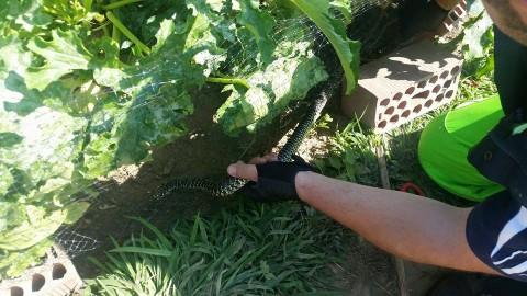 Serpente impigliato in una rete liberato da Anpana – Lucca in Diretta