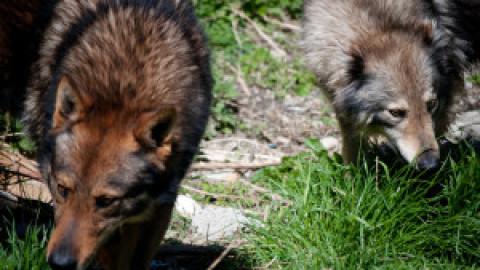 Tutti i cani lupini del gigante si danno appuntamento a Costa de'Grassi – Redacon
