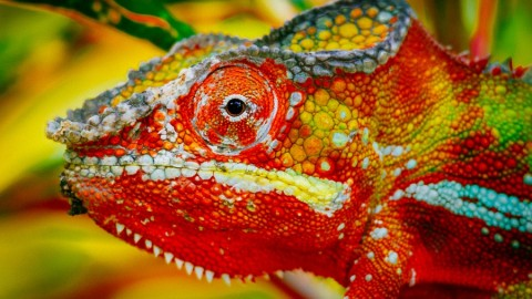 10 cose da sapere sui camaleonti – Focus