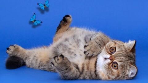 A Reggio Emilia i campionati europei di bellezza per gatti – Gazzetta di Reggio