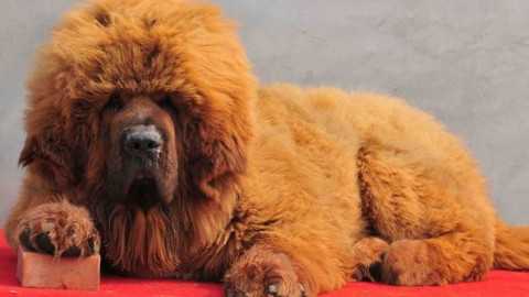 I cani più costosi al mondo: le 10 razze più esclusive – My Luxury