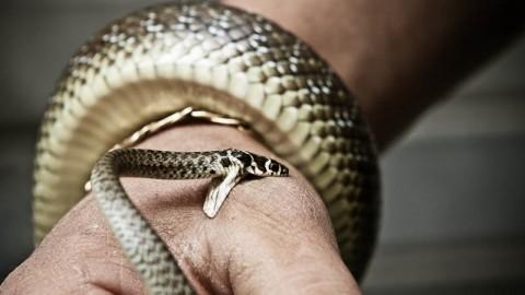 L'antidoto al morso dei serpenti non lo vuole più produrre nessuno – Bergamo Post