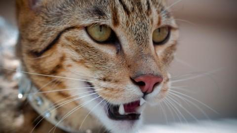 Le 10 razze di gatti più costose del mondo – My Luxury