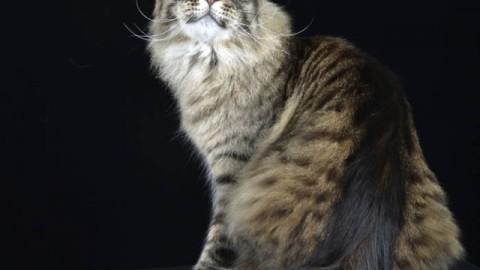 All'Expo felina di Padova il gatto veneto campione del mondo 2015 – VeneziaRadioTV
