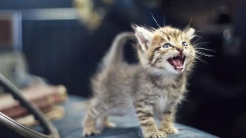 """Cosa """"dice"""" il tuo gatto? 6 suoni felini e il loro significato – Diregiovani"""