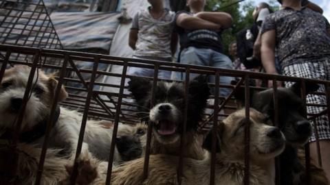 Cina. Al festival di Yulin mangeranno ancora più cani: «Colpa degli … – Tempi.it