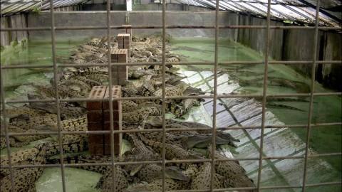 Coccodrilli: torture per borse e cinturini – ECPlanet