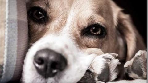 Ectopia testicolare nel cane