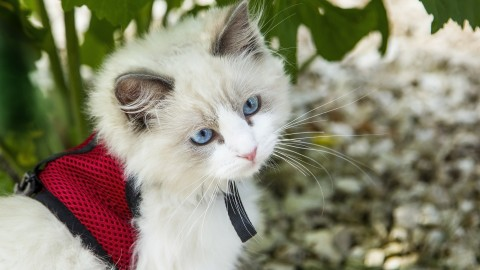 Pettorine per gatti: come si mette e si abbina al guinzaglio – BuzzNews – Buzznews portale di notizie