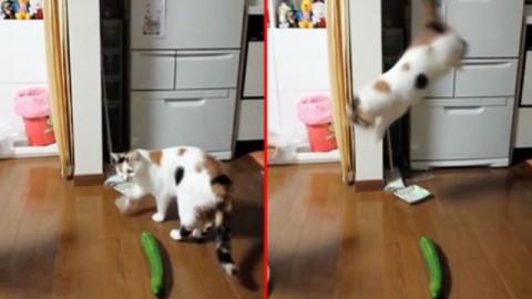 Gatti e cetrioli: ecco perché i gatti hanno paura dei cetrioli [video] – Petpassion.tv