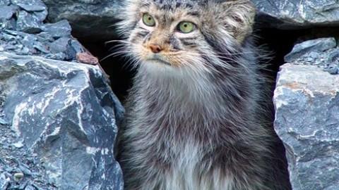 Una riserva per il «gatto più peloso del mondo» – Vanity Fair.it