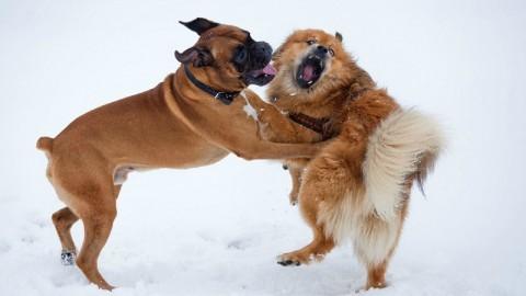 """Cosa fare se i cani litigano tra loro: consigli per proprietari di """"primo … – Velvet Pets Italia (Blog)"""
