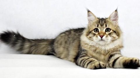Gatti: a ogni razza il suo carattere – Bigodino.it