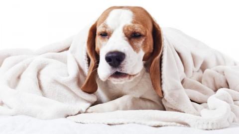 Il cane ha il raffreddore: sintomi e rimedi – Petpassion.tv