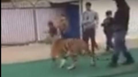 Arabia Saudita, show pericolosi: tigre tenta di sbranare bambina … – TGCOM