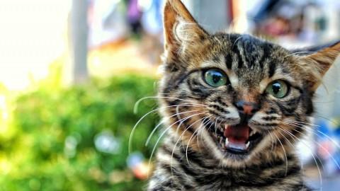 Perché i gatti quando annusano aprono la bocca? – Bigodino.it