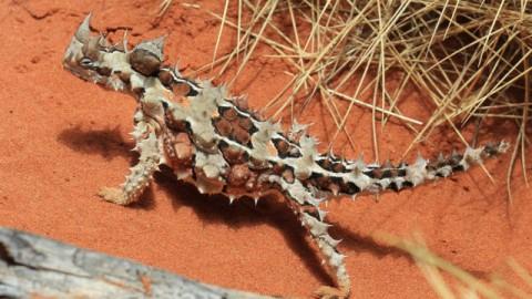 Ecco come si disseta attraverso la pelle un rettile australiano – Meteo Web