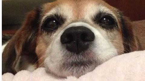 Perché il cane ha paura dei botti e dei fuochi d'artificio? – Petpassion.tv