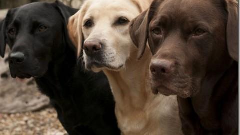 Malattie Genetiche del Labrador