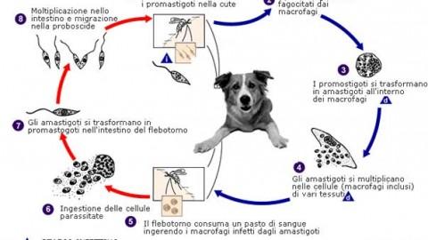 Sfatiamo un mito sulla leishmaniosi Se Fido è malato, non è … – Bergamo Post