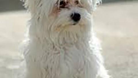 Cane Maltese, una delle razze da compagnia più antiche – ChiamamiCittà