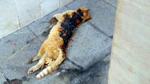 Gatto bruciato vivo dai petardi a Tortora: AIDAA mette una taglia … – Meteo Web