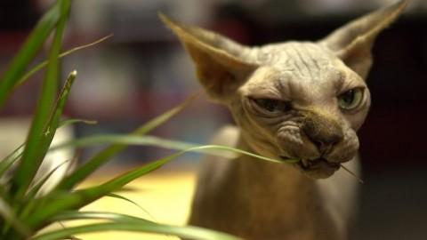 Gatto senza pelo: carattere – Notizie.it