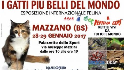 """Mazzano: esposizione internazionale felina """"I gatti più belli del mondo"""" – BresciaToday"""