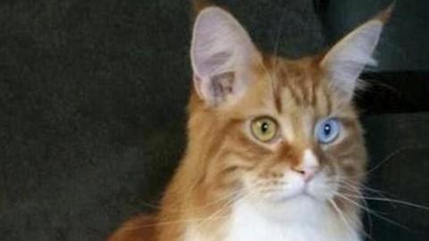 Mille gatti in Fiera: dai rarissimi Singapura all'unico Maine Coon … – Il Gazzettino