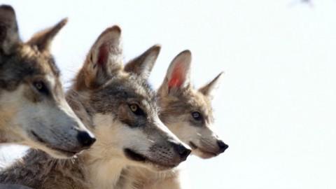 """Traffico di cuccioli, sequestrati 229 esemplari """"ibridi"""" pericolosi … – Il Fatto Quotidiano"""