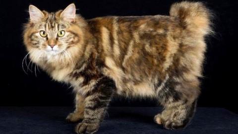 I Maine Coon, i gatti più grandi del mondo, in mostra al Lucca Fiere … – gonews