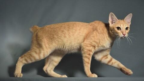 Khmer cambogiano, il primo gatto anallergico al mondo – LiberoQuotidiano.it