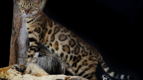 """Giganti, senza pelo o con gli """"stivali"""". I gatti sono global – la Nuova di Venezia"""
