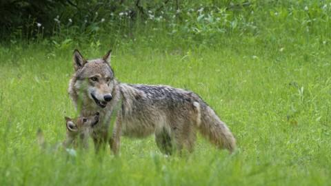 Piano lupi, ancora piu' facili le condanne a morte. Appello a Gentiloni