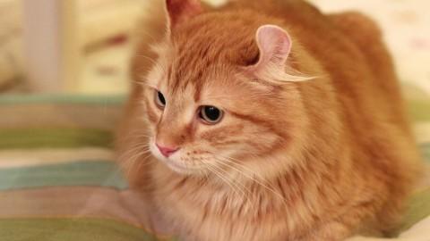 American Curl: il gatto dalle orecchie arricciate – Velvet Pets Italia (Blog)