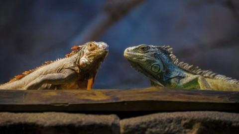 Come allevare un'iguana in casa – DeAbyDay.it (Blog)