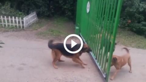 Cani inferociti si abbaiano attraverso il cancello. Ecco cosa succede … – Leggo.it
