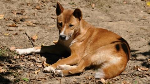 Scoperto il cane più raro e antico del mondo – Velvet Pets Italia (Blog)