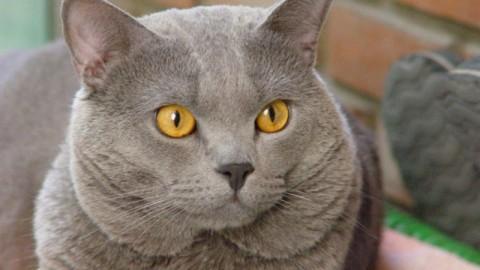 """Certosino: 5 caratteristiche che vi faranno innamorare del """"re dei gatti"""" – Velvet Pets Italia (Blog)"""