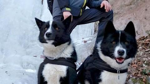 """A Fai prima cucciolata """"locale"""" di cani da orso razza Karelian – l'Adige – Quotidiano indipendente del Trentino Alto Adige"""