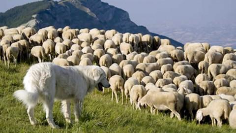 Pastori, la Provincia paga i cani contro orsi e lupi – l'Adige – Quotidiano indipendente del Trentino Alto Adige
