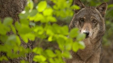 Toscana dichiara guerra ai lupi. Subito Piano lupo senza uccisioni
