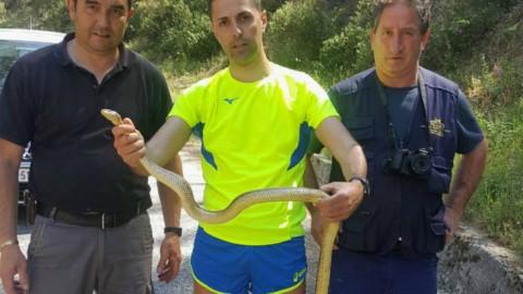Grosso serpente Cervone salvato a San Giovanni in Fiore, il … – Quotidiano online