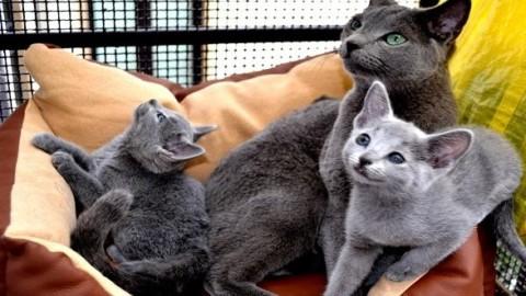 Gatto Blu di Russia: origini, aspetto, prezzo e carattere – Mondo Gatti