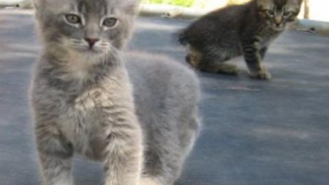 Gatto Manx: varietà, allevamenti, prezzo e cure – Mondo Gatti
