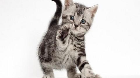 Gatto American Shorthair: caratteristiche e prezzo – Mondo Gatti