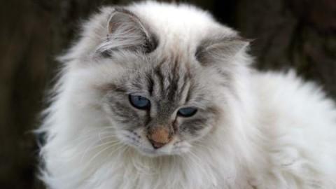 Gatto siberiano: scheda del felino – Velvet Pets